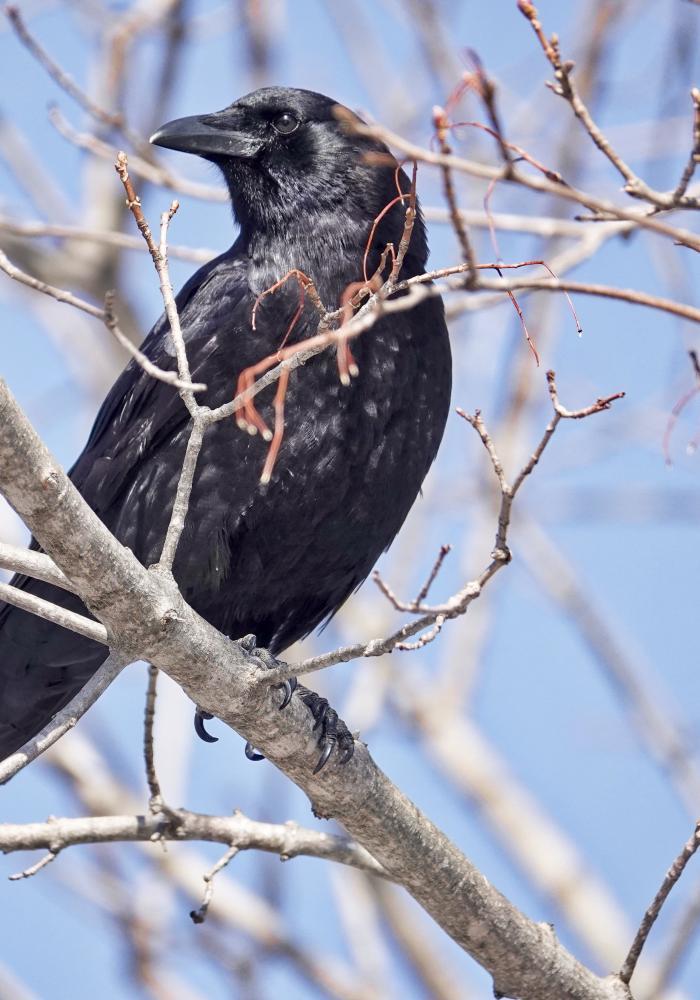 Crow Sounds - 101soundboards com