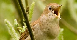 Nightingale Bird Sounds