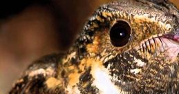 Whippoorwill Bird Sounds