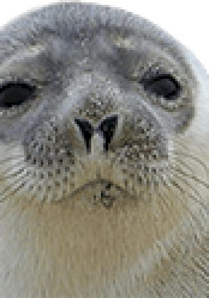 Seal Sounds