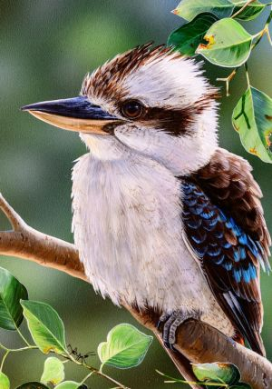 Laughing Kookaburra Sounds